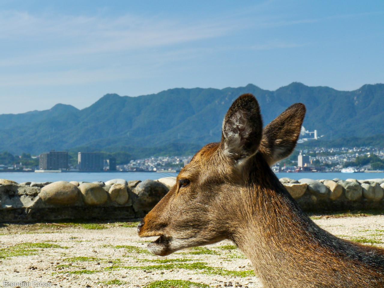 Miyajima Deer, Itsukushima