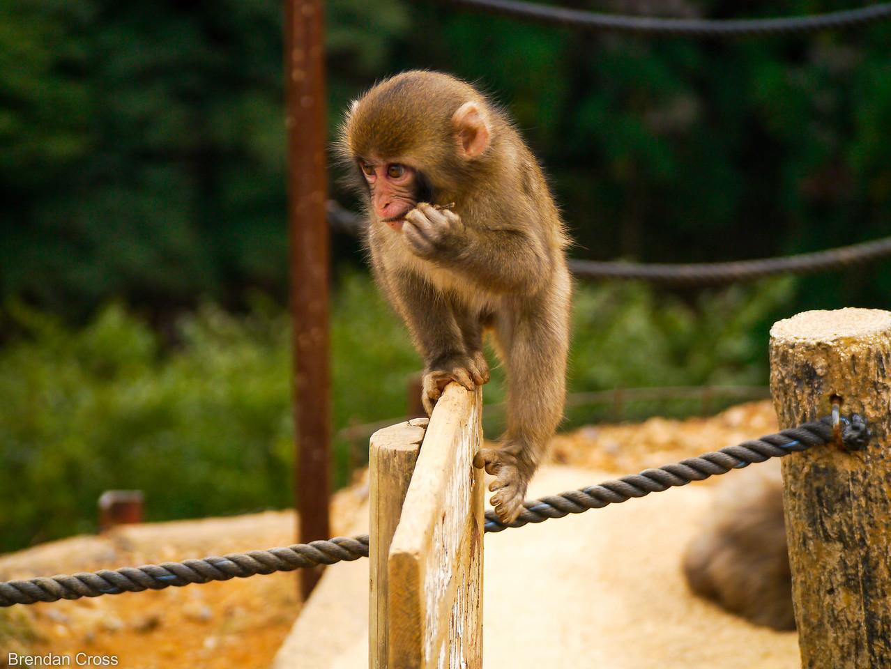 Flossing Monkey, Monkey Park Iwatayama, Arashiyama
