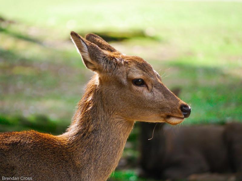 Deer, Nara Koen