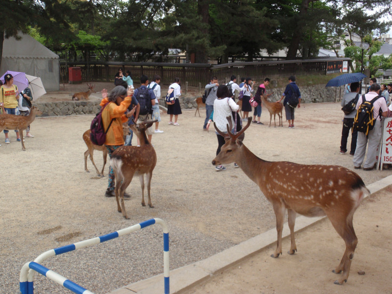 Day 3: Nara - just outside Todai Temple (all over town, in fact) are these incredibly tame deer. They are considered to be messengers from the gods, and therefore sacred and protected. They've learned over the centuries that the humans who come to visit won't harm them, so they're tame to the point of annoying.
