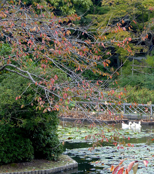 Foliage and ducks, Ryoanji Temple, Kyoto