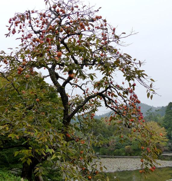 Persimmons tree, Ryoanji Temple, Kyoto