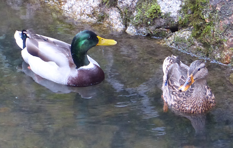 Ducks alongside Philosopher's Path, Kyoto