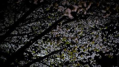 "Sakura Viewing (""Hanami"") By Night"