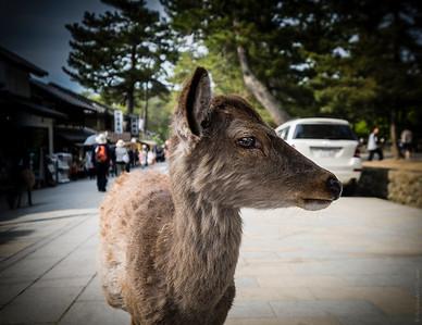 The Temple Deer