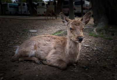The Deers of Todaiji Temple , Nara , Japan