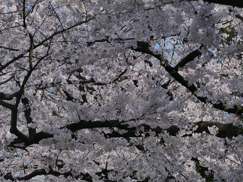 Blossoms in Ueno Park - simply outstanding