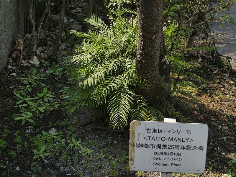 Woolemi Pine