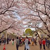 Cherry Blossoms at Nagoya Castle