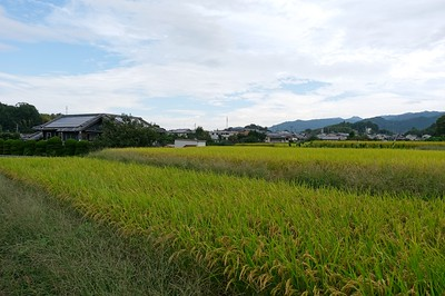 Rice in neighbors field.