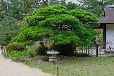One of many beautiful pines.