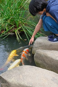 Colorful Koi.