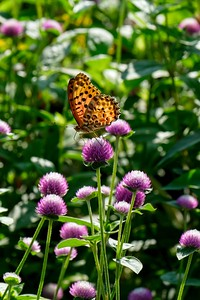 An Indian fritillary - Argynnis hyperbius on a  Rose Globe flower - Gomphrena pulchella.
