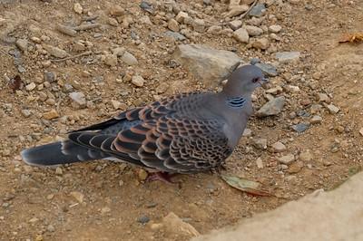 Oriental Turtle-dove - Streptopelia orientalis.