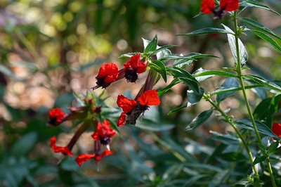 Cuphea - Cuphea purpurea cv.