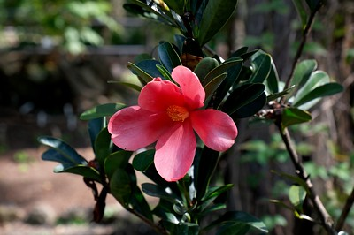 A Camellia azalea, an endangered ornamental shrub.