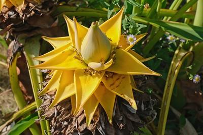 Chinese dwarf banana Eneste or Musella lasiocarpum.