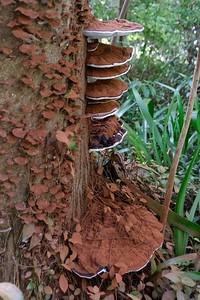 Artist's conk - Ganoderma applanatum.