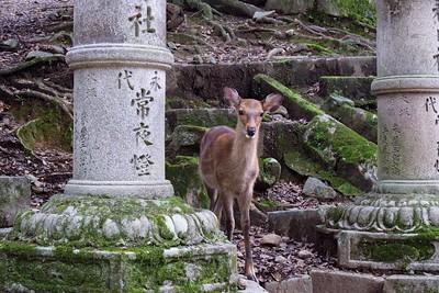 One of many deer, The sika, Cervus nippon - spotted deer, Japanese deer.