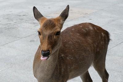 The sika, Cervus nippon - spotted deer, Japanese deer.