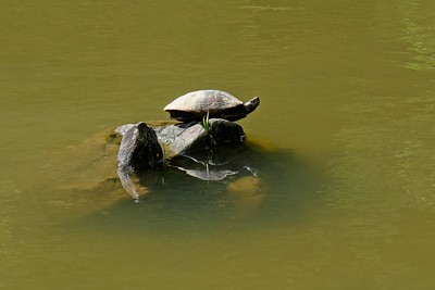 Greeted by turtles at the start of our walk.