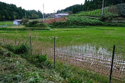 Harvested rice fields.