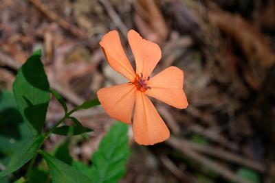 Orange flowering vinca.