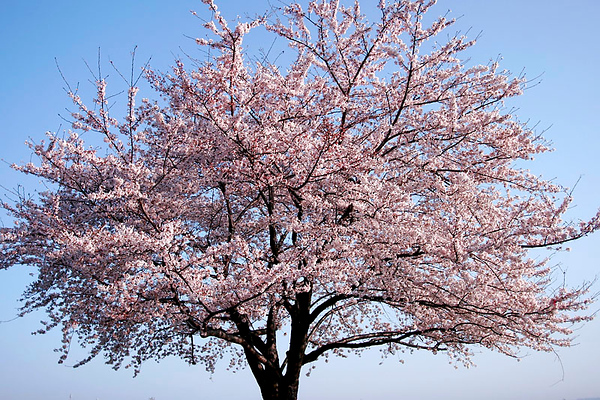 Cherry Tree in Bloom.