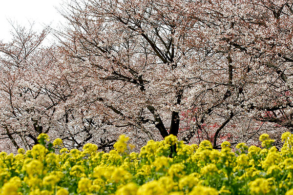 Cherry Blossoms, Showa Park west of Tokyo; #2.