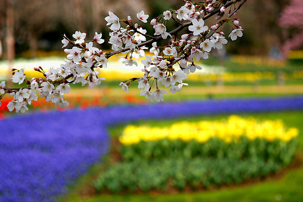 Cherry Blossoms and flowers, Showa Park west of Tokyo; #5.