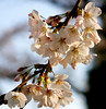 Cherry Blossoms; #1