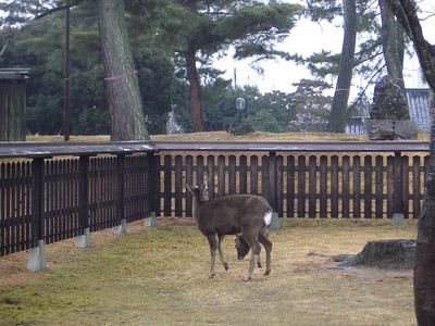 Deer in Nara.  They're allowed to roam the town freely, and are completely fearless.