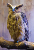 Malaysian Fish owl (Ketupa ketupa)