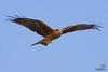 Black Kite in Matsushima bay, Japan