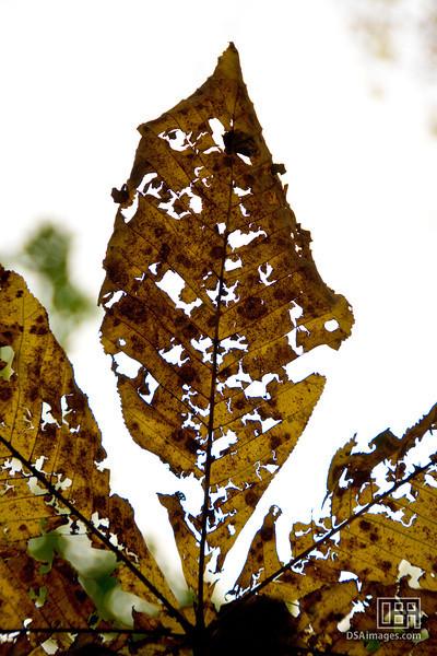 A leaf at Oirase Gorge, Honshu