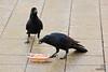 Feeding the crows in Odori Park, Sapporo