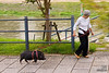 Woman walking her pet pig along the road, Kyoto