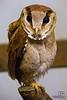 Bay Owl (Phodilus badius)