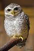 Spotted Little Owl (Athene brama)