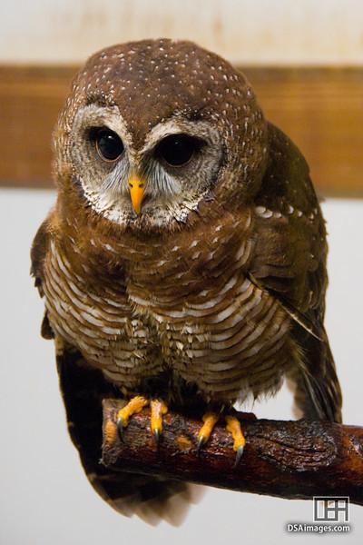 African wood-owl (Ciccaba woodfordii)