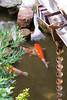 Fish in the garden of the Nomura family samurai house