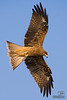 Black Kite in Matsushima bay, Japan