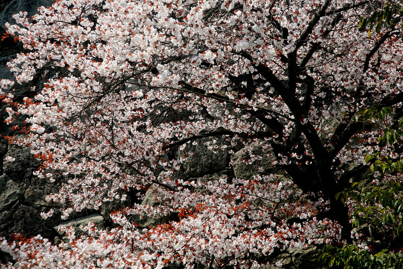 Blossoms bloom first in the south, then Tokyo, and finally in northern Japan.