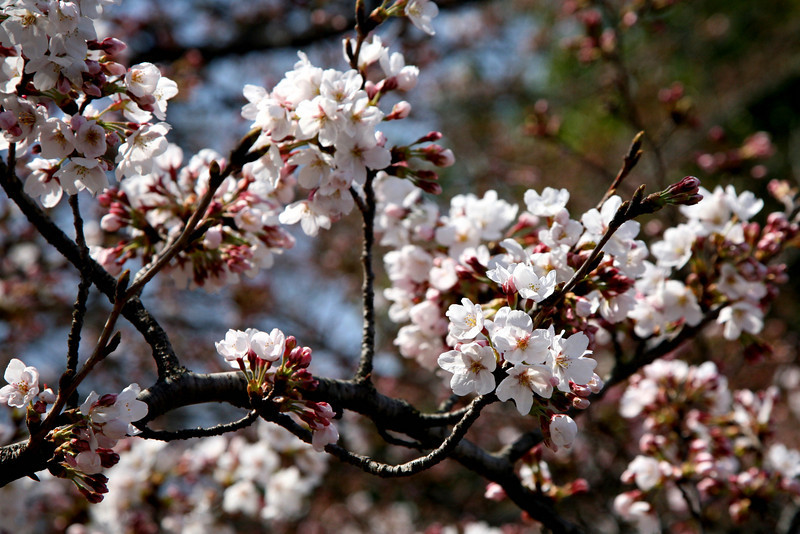 """""""Beautiful Sorrow"""": to the Japanese, the short-lived cherry blossoms carry the promise of renewal and a reminder of the fleeting nature of life."""