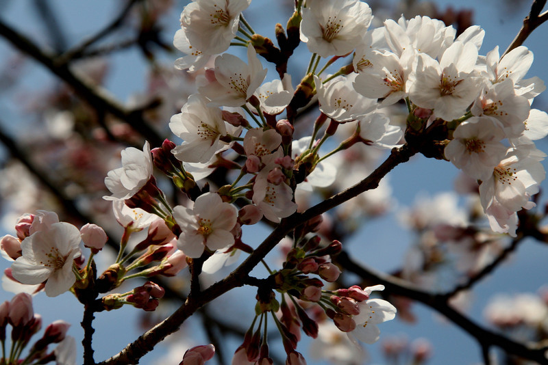 Start of Hanami is unpredictable, and it lasts only a week.
