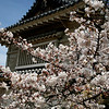 The blossom was also a symbol of the Samurai, the epitome of Japanese valor.