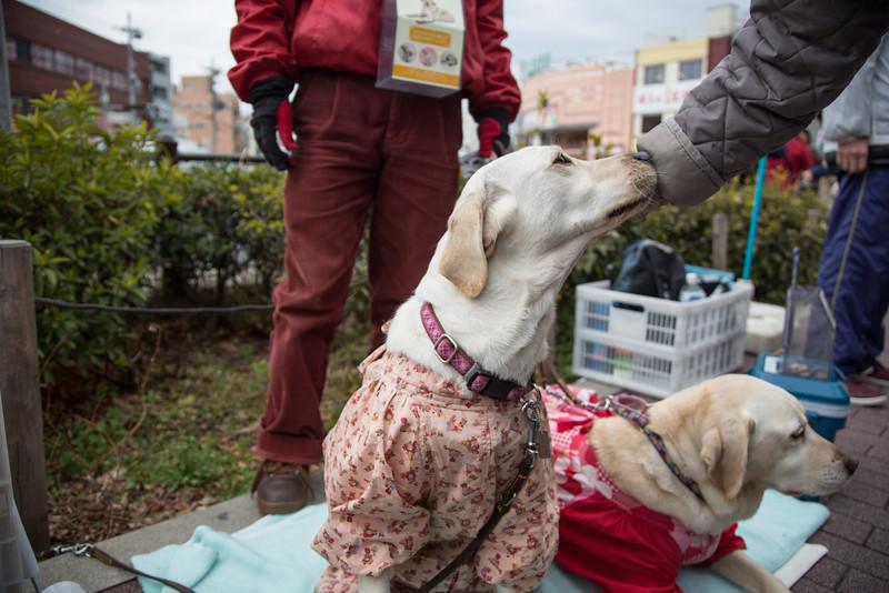 Guide dogs raising money near Chion-ji temple in Kyoto.