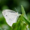 Piers rapae  butterfly