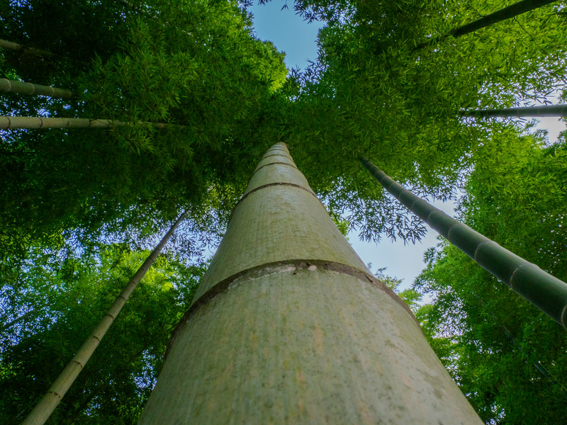 Bamboo trees reaching for the sky