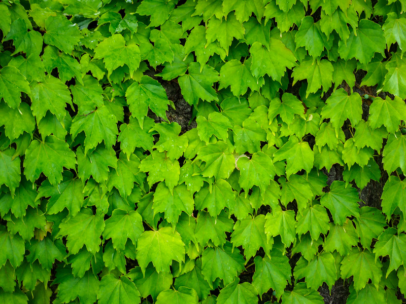Parthenocissus is a climbing plant, commonly known as the River Grape